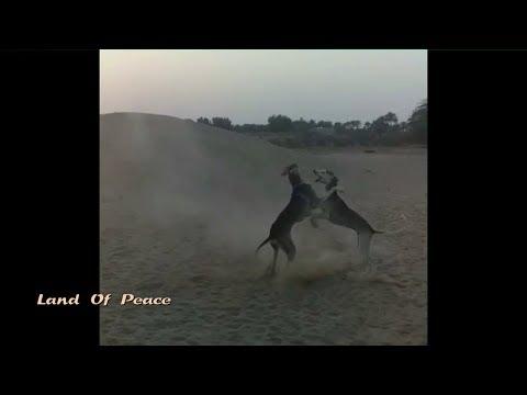 تدريب كلاب السلوقي Sloughi dogs training