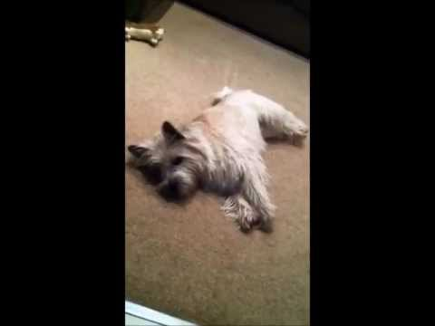 BEST DOG TRICK EVER!! Cairn terrier plays dead