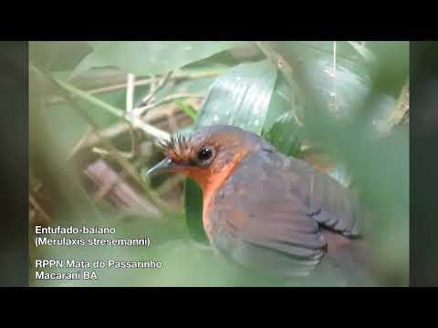 Entufado-baiano (Merulaxis stresemanni) na RPPN Mata do Passarinho em Macarani BA
