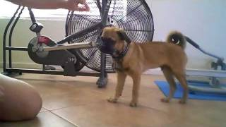 Mr Monkey - Pound Puppy Puggle 1st Day Training