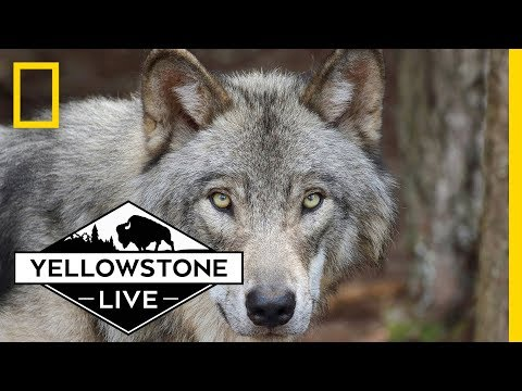 Wolves in Yellowstone, LIVE! | Yellowstone Live
