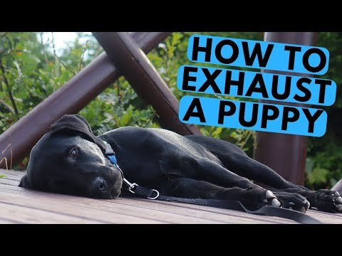How Do I Exhaust My Labrador Puppy