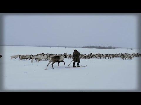 Кочевники, пастухи (оленеводы) пригнали стадо оленей, ЯНАО, Ямал (3)