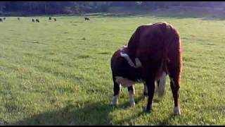 Lill-tjuren och mamma-mu