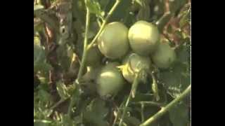 On the Farm: Stephen Mutenyo, Tomato grower from Bulambuli