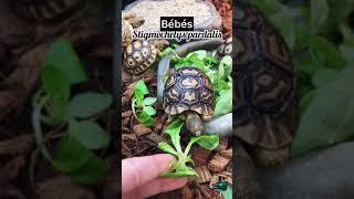 Stigmochelys pardalis - Tortue léopard vidéo