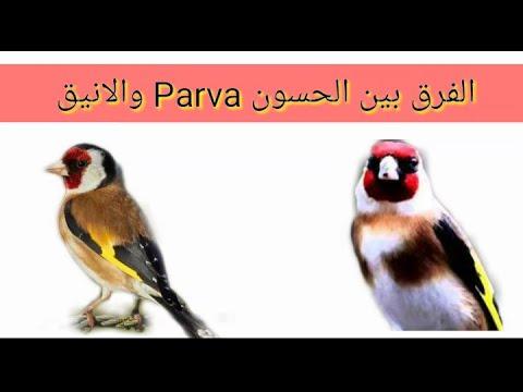 الفرق بين الحسون Parva و الانيق Youtube