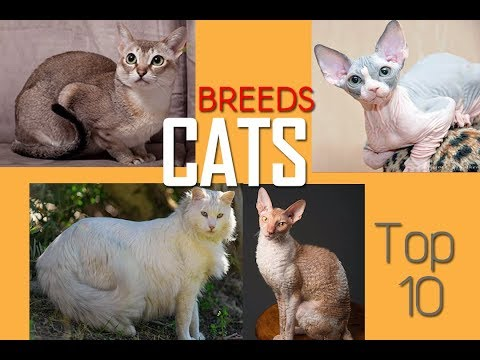 Cat Breeds | Most Beautiful and Expensive Cats | Top cats | Most playful cats | Dangerous Cats |