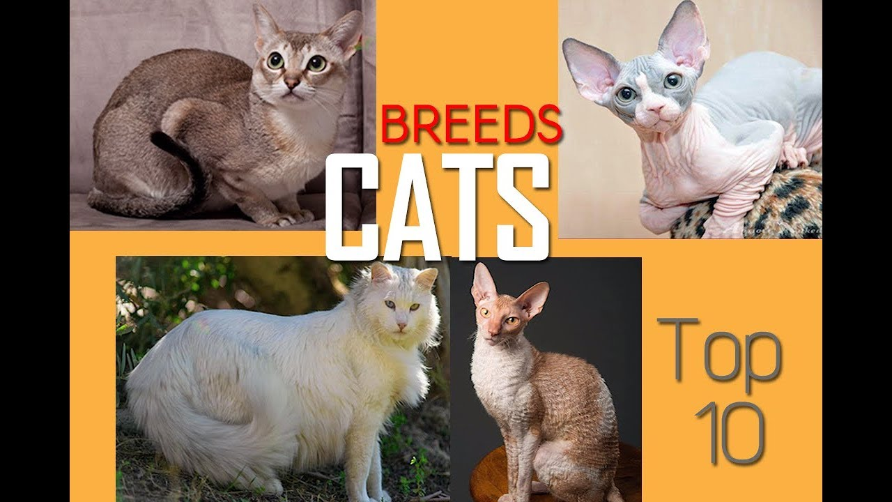 Cat Breeds Most Beautiful and Expensive Cats Top cats