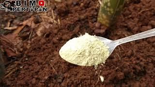 Cara mengantisipasi porang yang terkena jamur dan ulat tanah