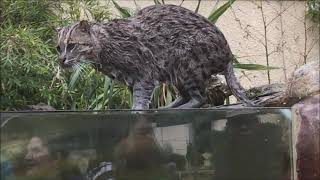 Fishing cat catches a fish in San Francisco Zoo