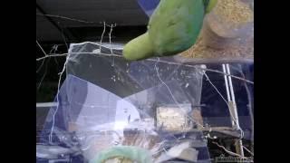インコ等中型鳥類拒否餌台に改造。成功? 食事に来るも、透明ポリスチレ...