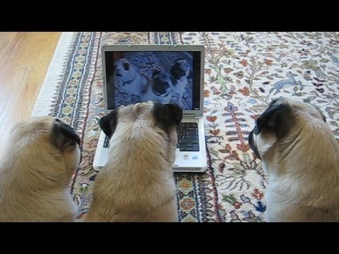 Pugs Watch Video of Themselves