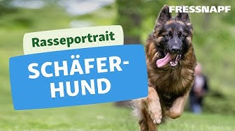 Rasseportrait: Deutscher Schäferhund