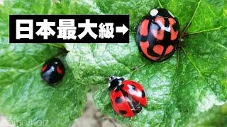 大きいてんとう虫がいたけど何これ?という方…それは日本三大てんとう虫の一種、カメノコテントウでは(残りの二種はオオテントウ、ハラグ...