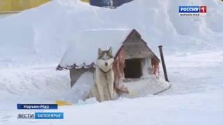 """Осторожно, злая собака!: репортаж """"Вести Заполярья"""""""