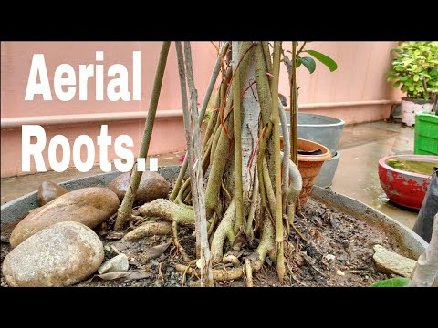 Aerial roots - How to grow aerial roots in bonsai, what is aerial roots