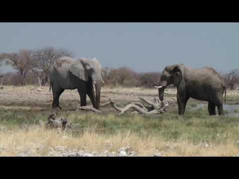 Wild Elephants Having Fun in the jungle