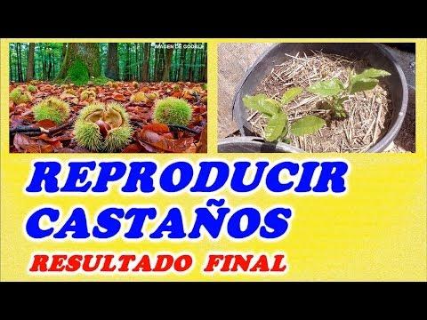 Reproducción de Castaños por su Fruto   RESULTADO FINAL // Destacados // Reproducción de Árboles