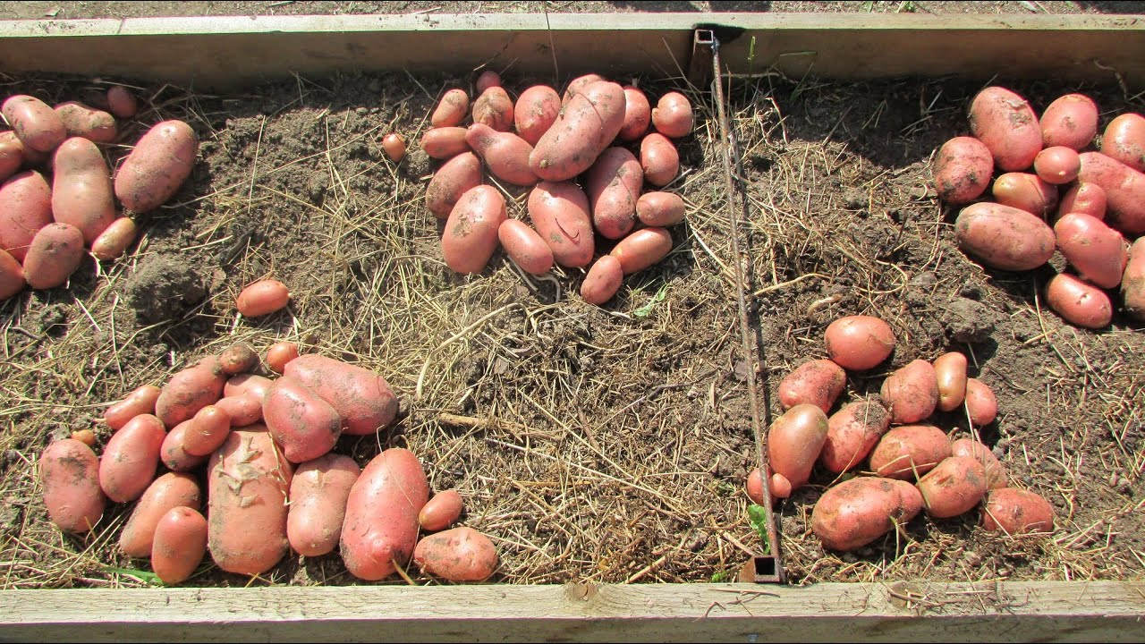 Теплые грядки видео картофель посадка фото 467-652