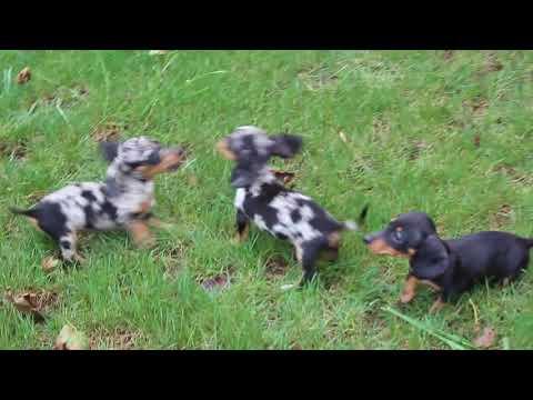 Mini Dachshund Puppies For Sale