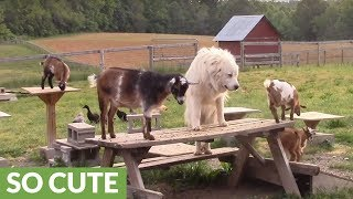 Farm dog plays follow the leader with baby goats