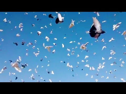 Iranian Biggest High Flying Pigeons Setup