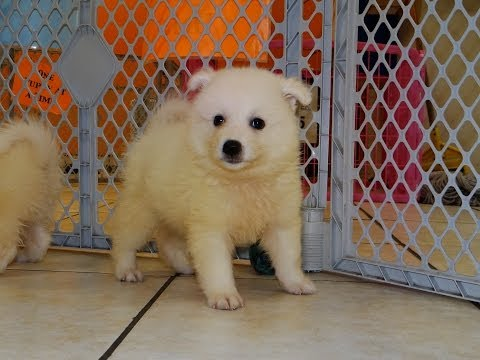 American Eskimo, Puppies, Dogs, For Sale, In Jackson, Mississippi, MS, 19Breeders, Hattiesburg