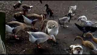 Mudchute Farm ducks and swans