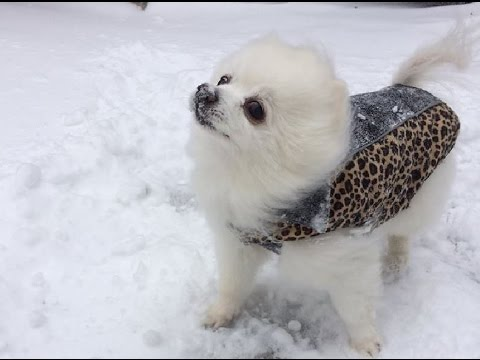 Gabe the Snowdog