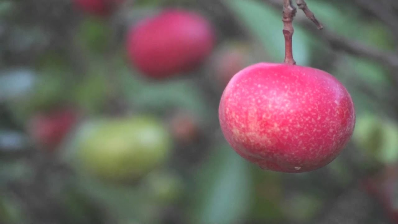 Kokum Garcinia Indica Popular Herbal Fruit Youtube