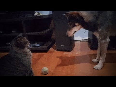 Funny Cats and Dogs 🐱🐶 Cute Cats Annoy Funny Dogs (Full) [Funny Pets]