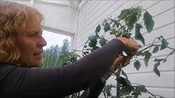 Nyt poistetaan tomaatista varkaat