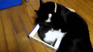 子猫の茶々と、黒猫の竹千代の空き箱の取り合いの様子です この小さい箱...