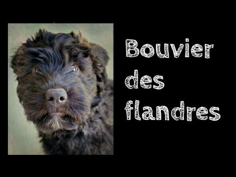 Bouvier des flandres facts|| Animals are awesome