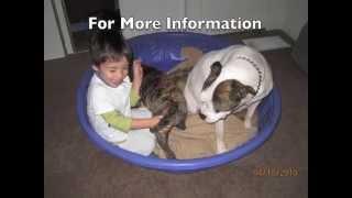 American Bulldog Puppies For Adoption