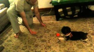 Shih Tzu Yorkie Playing Catch With Human