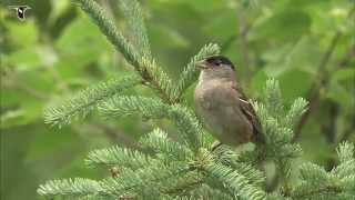 Golden-crowned Sparrow singing