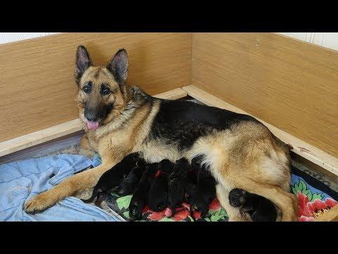 Как рожают собаки