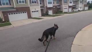 My morning routine with my working line German Shepherd
