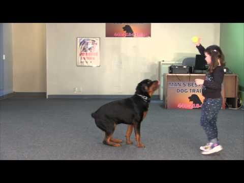 Mr  Big Obedience Trained Rottweiler