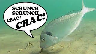 Pêche en Surfcasting - Daurade Royale sur des Couteaux de Mer !