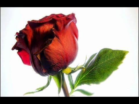 Футаж HD. Красная Роза.  Futage HD. Red Rose
