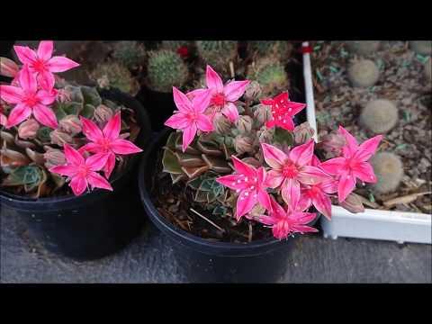 Succulent Flowers - Tacitus Bellus