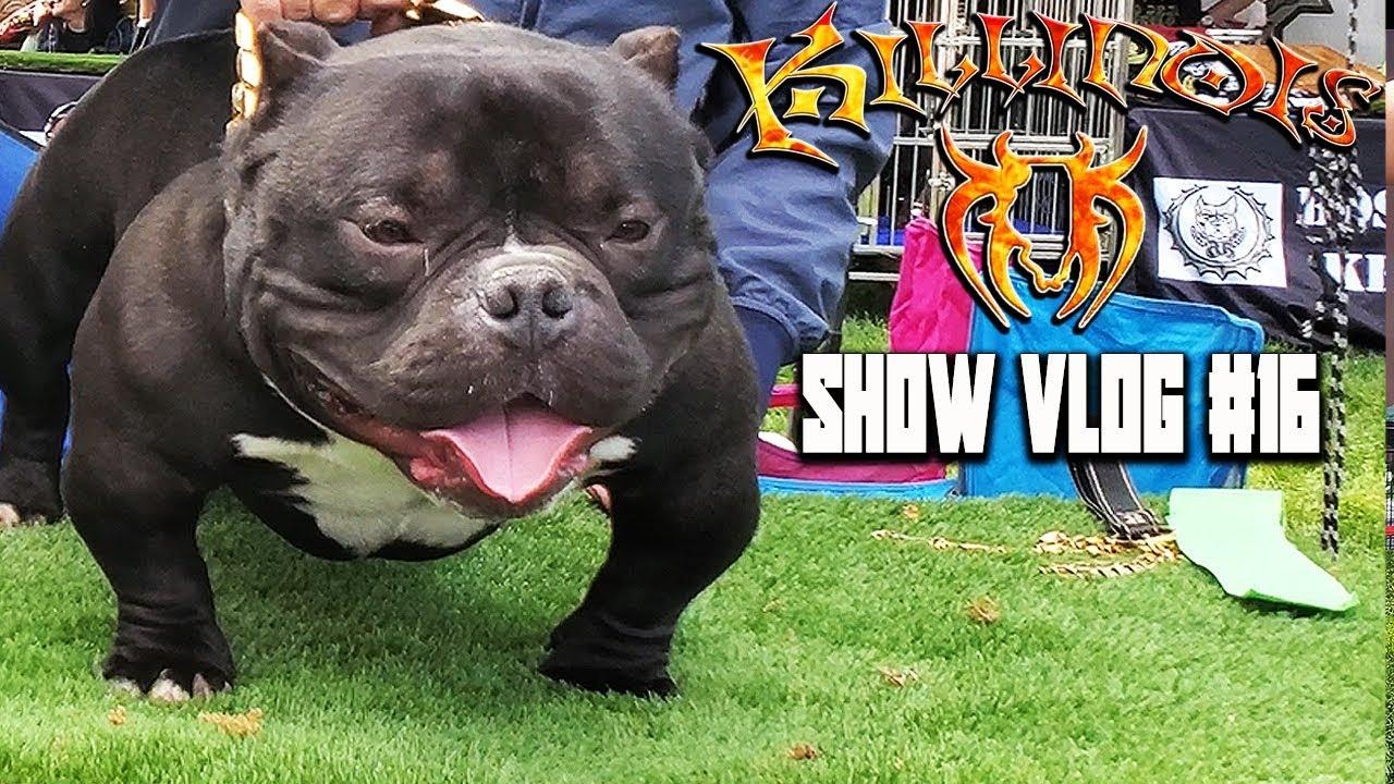 AMERICAN BULLY/EXOTIC BULLY 420 DOG SHOW!!!!! KILLINOIS KENNELS SHOW  VLOG#16 BRC GLOBAL