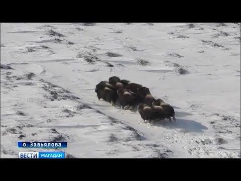 Овцебыки успешно перезимовали