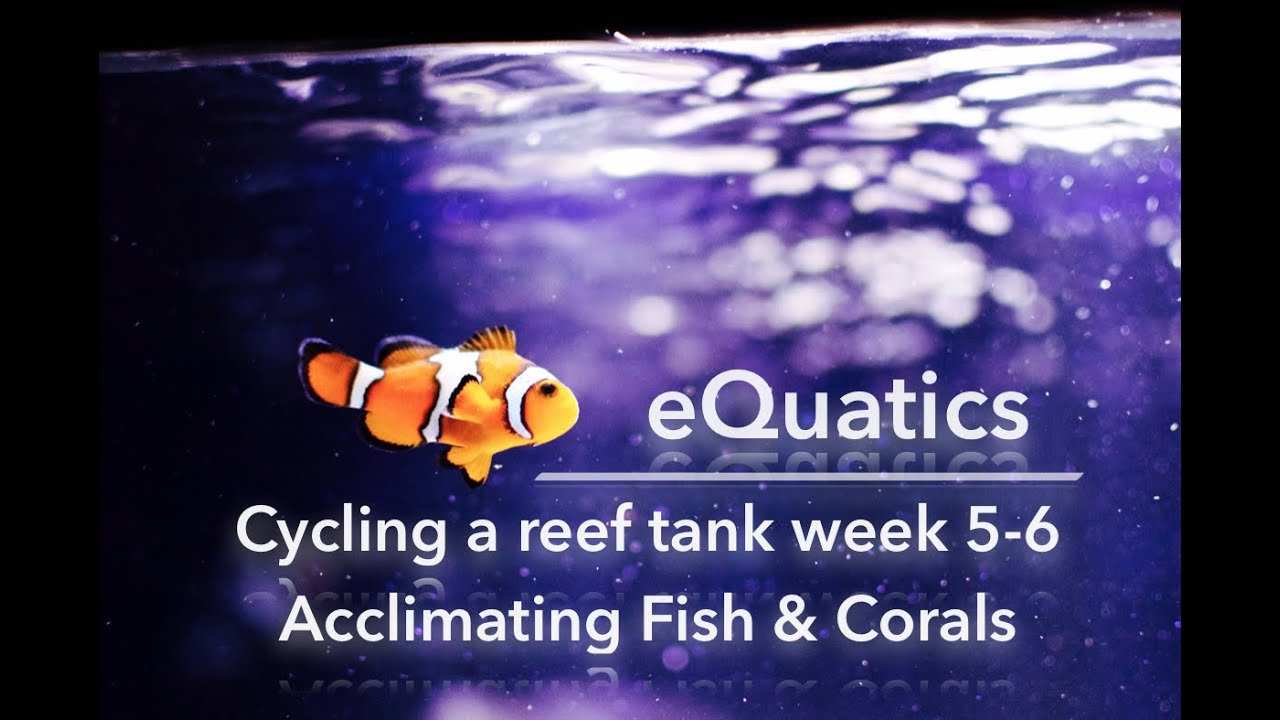 How to cycle a saltwater tank week 5 6 acclimating fish for Acclimating saltwater fish