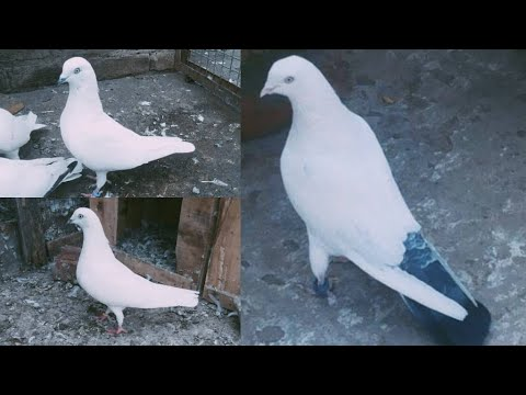 High Flying Pigeons For Sale    Sambhal Wale Kaldume Or Kalchoche Kabootar For Sale    9838045427   