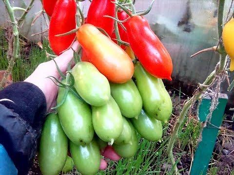 Суперурожайный сорт, нескончаемые кисти, вяжет бесконечно. «Фляшен»   урожайный   томаты   сорт