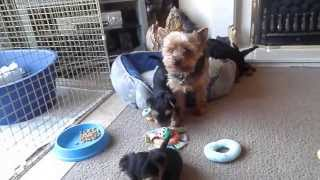 Yorkshire Terrier Puppies 6 Weeks Old Playing